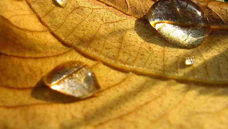 yellow leaf water drop